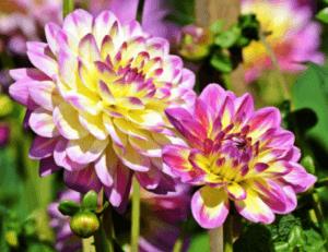 Жоржини однорічні - квітка