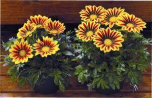Гацанія - однорічна квітка - фото.