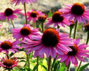 Ехінацея - квітка