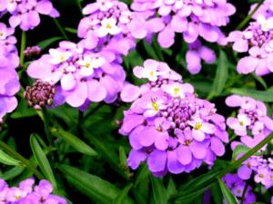 Іберіс - багаторічна квітка фото.