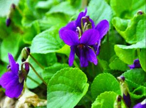 Фіалка запашна - багаторічна квітка