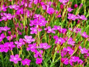 Гвоздика-травянка - багаторічна квітка