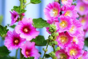 Мальва - фантастична ,багаторічна квітка