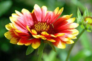 Гайлардія - багаторічна квітка