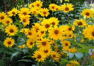 Геліопсіси - квіти