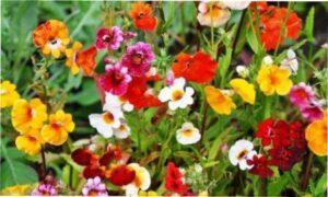 Немезія - квітка