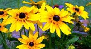 Рудбекія - багаторічна квітка