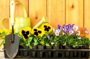 Пікіровка розсади квітів фото.