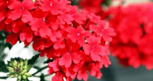 Вербена - однорічна квітка фото.