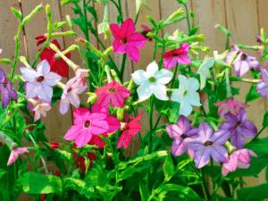 Запашний тютюн - однорічна квітка