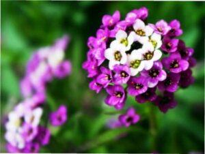 Лобулярія - квітка однорічна
