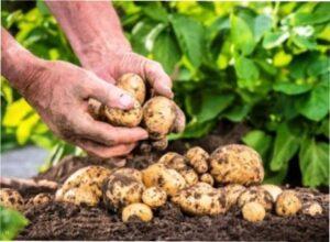 Сприятливі дні для збору врожаю картоплі в 2020 році - фото.