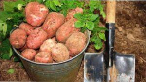 Вплив сорту картоплі на її посадку