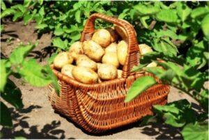Коли починати копати картоплю