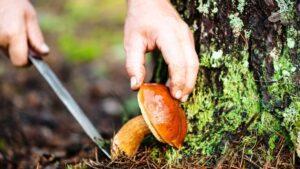 Сприятливі дні для збору, сушки і консервування грибів за місячним календарем 2021 року