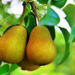 Коли знімати груші з дерева на зберігання: Терміни збору плодів