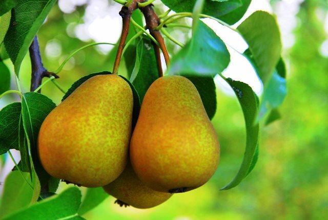 Коли знімати груші на зберігання: терміни збору