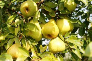 Час збору осінніх сортів груш