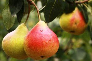 Пізні зимові сорти груш - фото.
