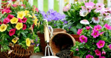 Які квіти посадити і посіяти в серпні у відкритий ґрунт в саду на дачі