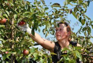 Догляд за яблунями в серпні - фото.