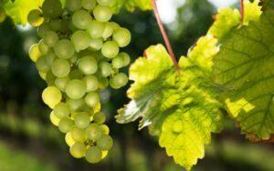 Догляд за виноградом в серпні - фото.