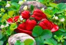Підживлення полуниці восени — чим підживити полуницю та коли це робити осінню