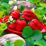 Підживлення полуниці восени - чим підживити полуницю та коли це робити осінню