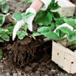 Посадка полуниці восени в 2020 році: коли і як висаджувати полуницю осінню