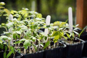 Як виростити розсаду овочів