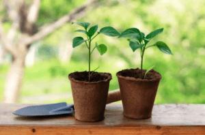 Догляд за розсадою перцю після посіву