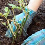 Як садити троянди восени під зиму: оптимальні терміни та покрокова інструкція