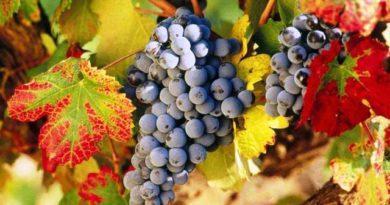 Як доглядати за виноградом восени: підгодівля, полив, обрізка та укриття