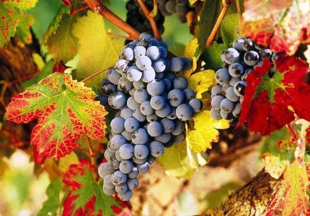 Обрізка винограду восени для початківців: посадка і догляд