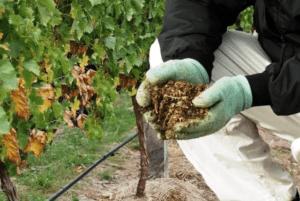 Осіння обрізка винограду
