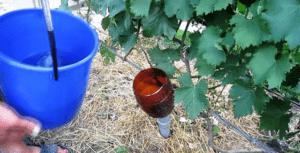 Передзимовий полив винограду - фото.