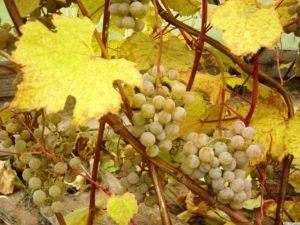 Внесення підгодівлі винограду