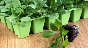Вирощування розсади квітів та декоративних рослин