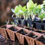 Що садити на розсаду в січні з овочевих та квіткових культур в 2021 році