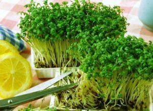 Кресс-салат - вирощування
