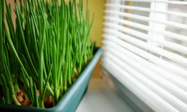 Цибуля - вирощування