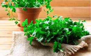 Кінза - вирощування