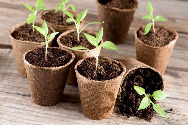 Посадка перцю на розсаду в 2022 році: коли садити