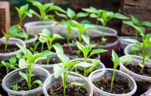 Коли садити перець на розсаду в січні 2022 року за місячним календарем