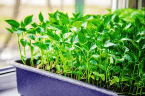 Як сходять насіння перцю в січні