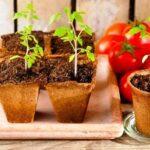 Посів помідор на розсаду в січні 2022 року: коли садити, терміни, сприятливі дні