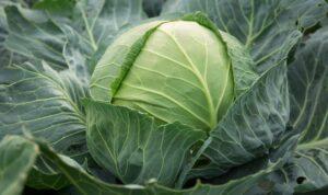 Цукрова голова - сорт капусти
