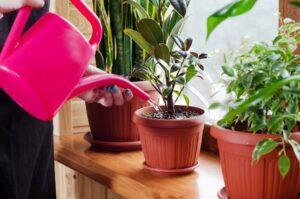 Полив кімнатних рослин у 2021 році