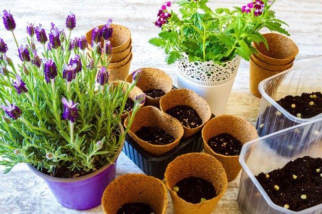 Які квіти можна посіяти на розсаду в лютому: список квіткових культур