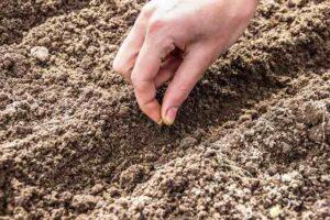 Посів насіння пекінської капусти в грунт
